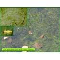 Petite utriculaire - Utricularia minor - 864