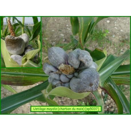 Charbon du maïs - Ustilago maydis - 5037