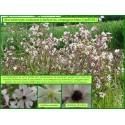 Charbon du compagnon blanc - Microbothryum violaceum - 5038