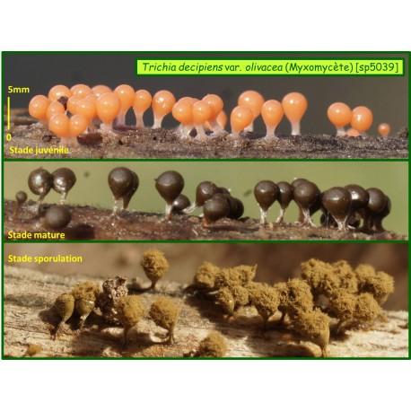Trichia_decipiens var olivacea -Myxomycète-5039