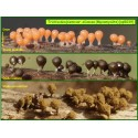 Trichia decipiens var. olivacea - Myxomycète - 5039