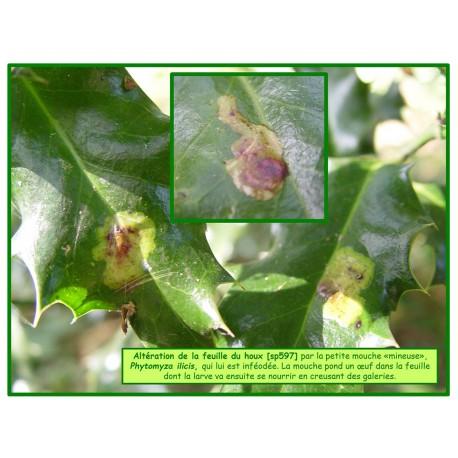 Mineuse du houx - Phytomyza ilicis - 597