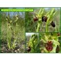 Ophrys araignée - Ophrys spegodes - 873