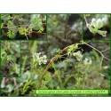 Corydale à vrille - Ceratocapnos claviculata - 3004