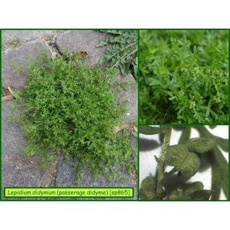 Passerage didyme - Lepidium didymum - 865
