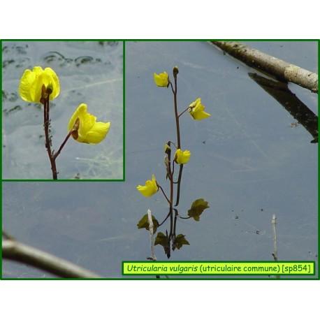 Utriculaire commune - Utricularia vulgaris - 854