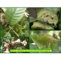 Galle du châtaigner - Dryocosmus kuriphilus - 875