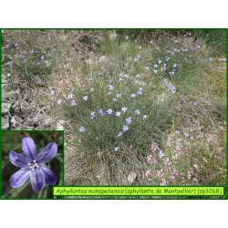 Aphyllante de Montpellier - Aphyllantes monspeliensis - 3268