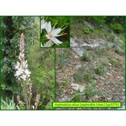 Asphodèle blanc - Asphodelus albus - 3276