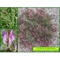 Astragale de Montpellier - Astragalus monspessulanus - 3255