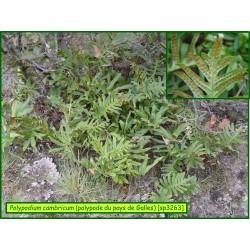 Polypode du Pays de Galles - Polypodium cambricum - 3263