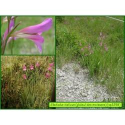 Glaïeul des moissons - Gladiolus italicus - 3258