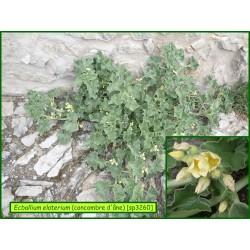 Concombre d'âne - Ecballium elaterium - 3260
