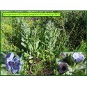 Cynoglosse officinale - Cynoglossum officinale - 3265