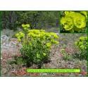 Euphorbe dentée - Euphorbia serrata - 3251