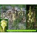 Gueule de loup ou Muflier-Antirrhinum majus subsp.  latifolium - 3252