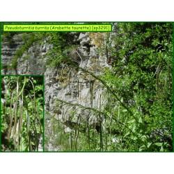 Arabette tourette - Pseudoturritis turrita - 3291