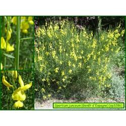 Genêt d'Espagne - Spartium junceum - 3286