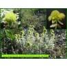 Germandrée dorée - Teucrium polium ssp aureum - 3282