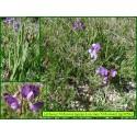 Gesse à racines filiformes - Lathyrus filiformis  - 3256