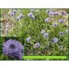 Globulaire commune - Globularia bisnagarica - 3270