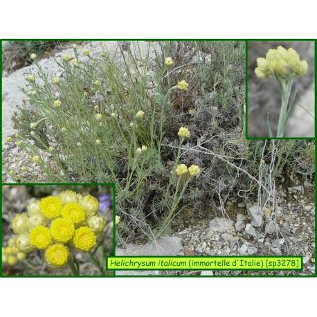 Immortelle d'Italie - Helichrysum italicum - 3278