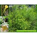 Jasmin jaune - Jasminum fruticans - 3283