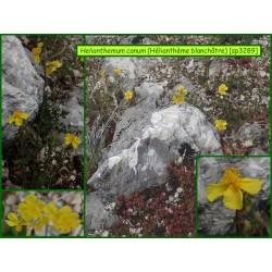 Hélianthème blanchâtre - Helianthemum canum - 3289