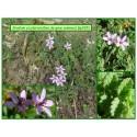 Bec de grue commun - Erodium cicutarium - 265
