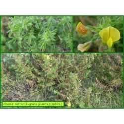 Bugrane gluante - Ononis natrix - 876