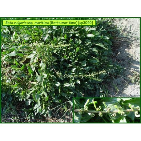Bette maritime - Beta vulgaris ssp. maritima - 3040