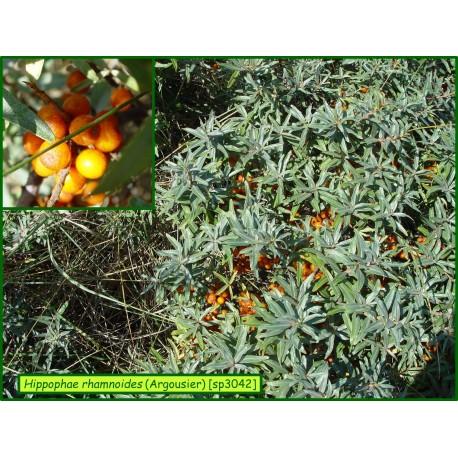 Argousier - Hippophae rhamnoides - 3042