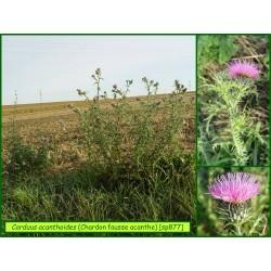Chardon fausse-acanthe - Carduus acanthoides - 877
