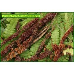 Leocarpus fragilis - Myxomycète - 5040