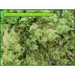 Cténidie molle - Ctenidium molluscum - 779