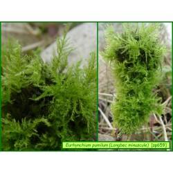 Longbec minuscule - Eurhynchium pumilum - 659