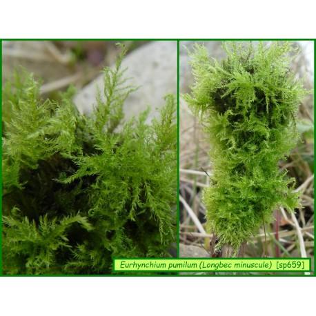 Eurhynchium pumilum - 659
