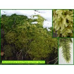 Hypne courroie - Rhytidiadelphus loreus - 768