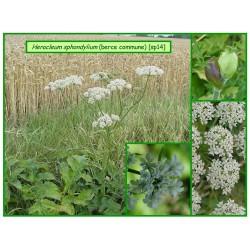Berce commune - Heracleum sphondylium - 014
