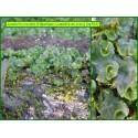 Lunulaire en croix - Lunularia cruciata - 763
