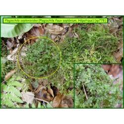 Plagiochile faux Asplénium - Plagiochila asplenioides - 778