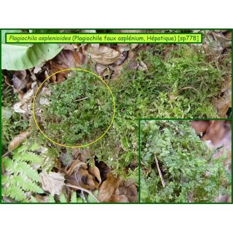 Plagiochila asplenioides - 778