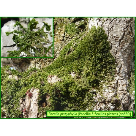 Porellie à feuilles plates - Porella platyphylla - 650