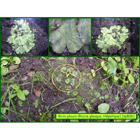 Riccia glauca - Hépatique à thalle - 806