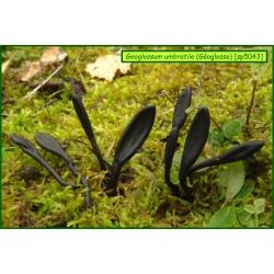 Géoglosse - Geoglossum umbratile - 5043