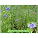 Bleuet des champs - Centaurea cyanus cv - 376