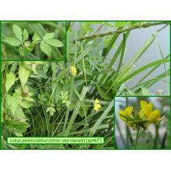 Lotier des marais - Lotus pedunculatus - 467