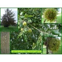 Chêne chevelu - Quercus cerris - 879-
