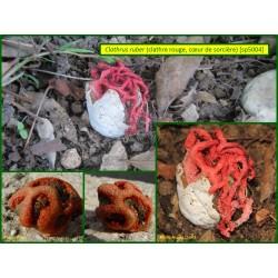 Clathre rouge, coeur de sorcière - Clathrus ruber - 5004