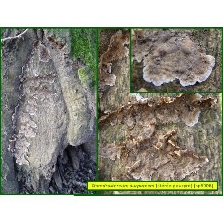 Stérée pourpre - Chondrostereum purpureum - 5006
